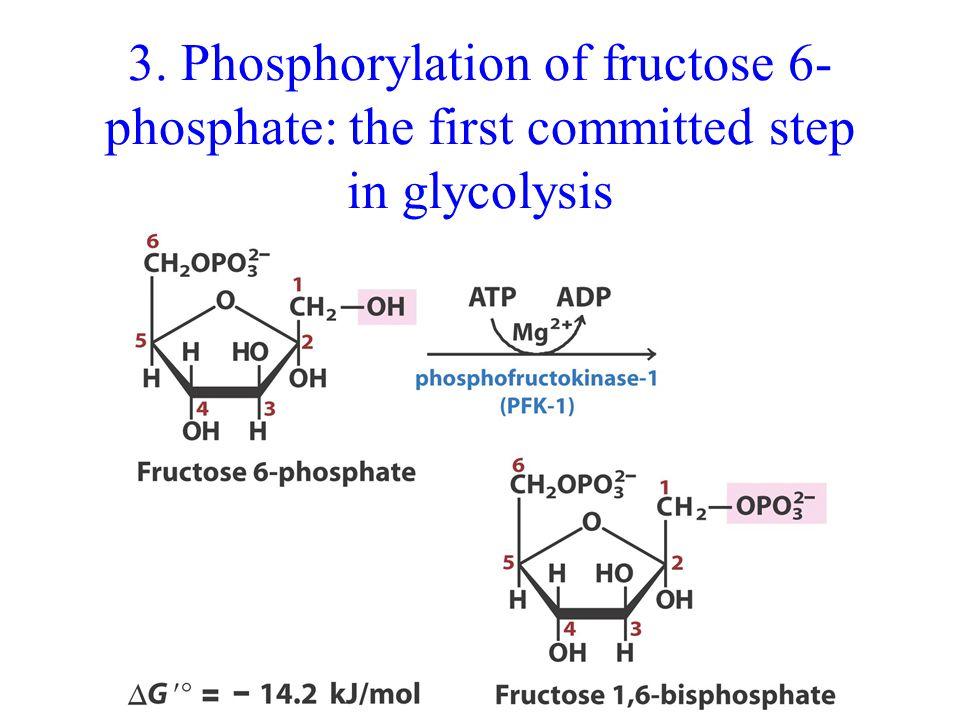 3. Phosphorylation of fructose 6- phosphate: the first committed step in glycolysis