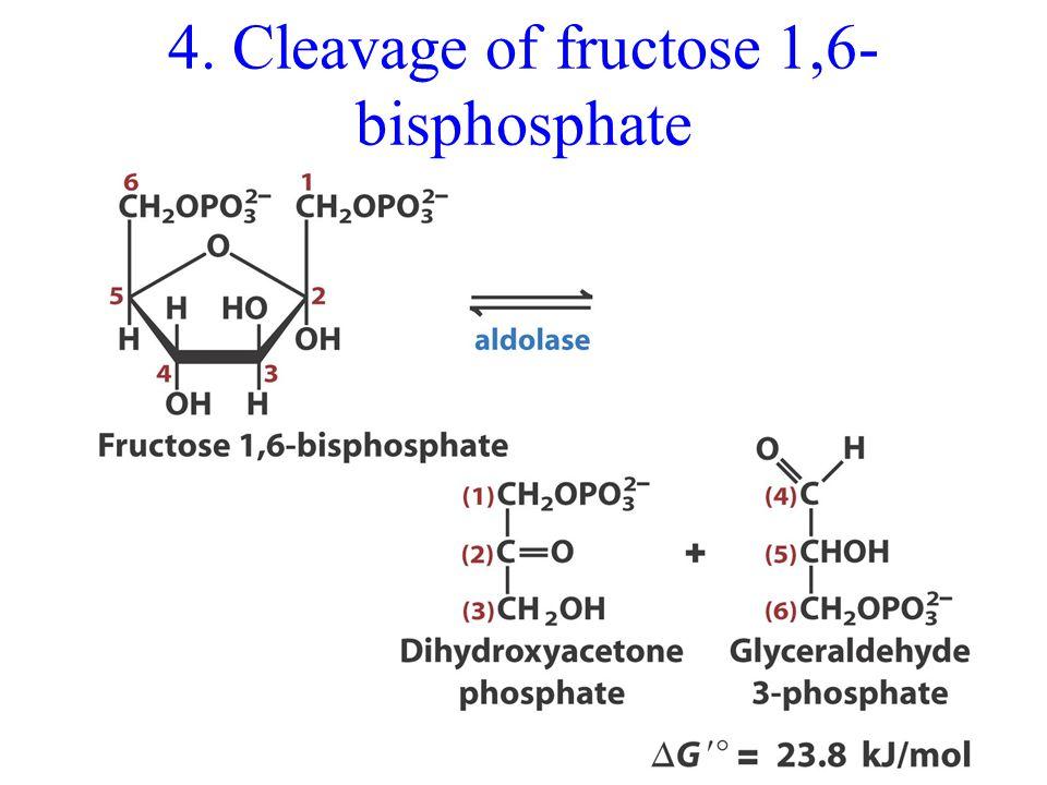 4. Cleavage of fructose 1,6- bisphosphate