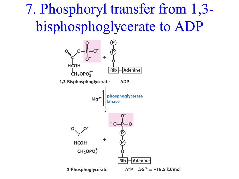 7. Phosphoryl transfer from 1,3- bisphosphoglycerate to ADP