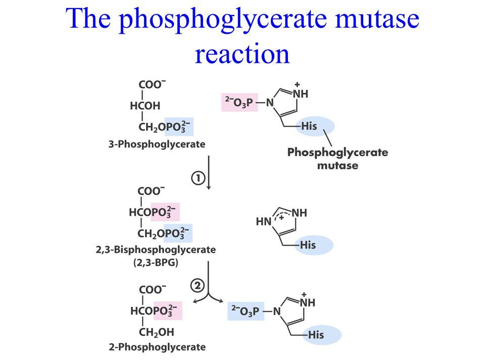 The phosphoglycerate mutase reaction