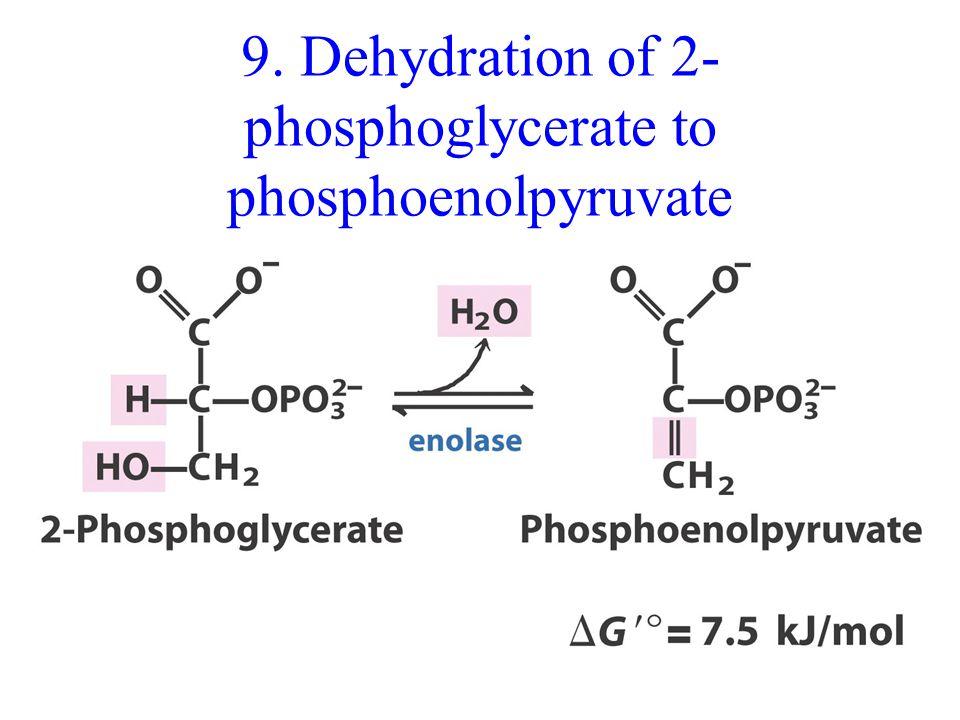9. Dehydration of 2- phosphoglycerate to phosphoenolpyruvate