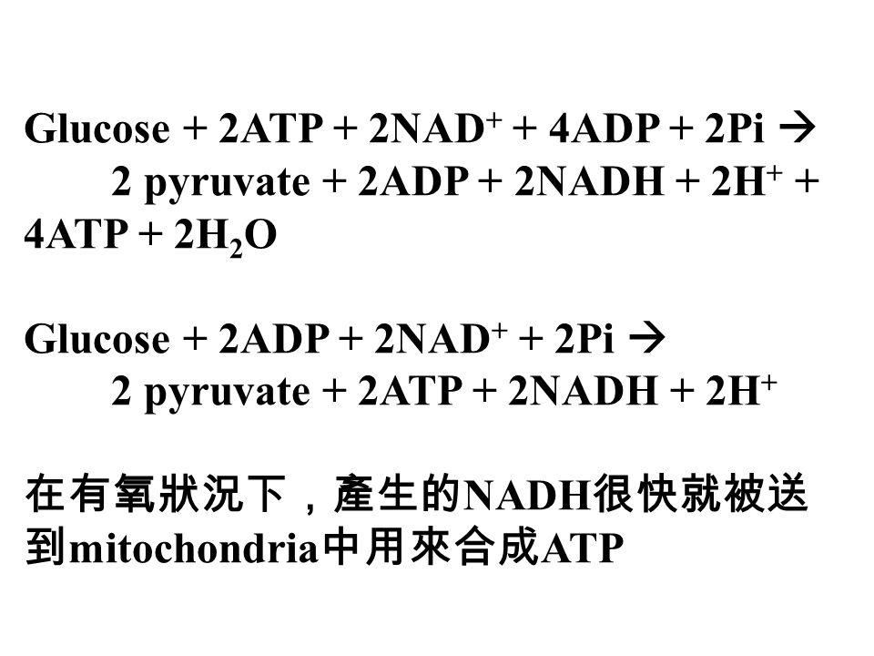 Glucose + 2ATP + 2NAD + + 4ADP + 2Pi  2 pyruvate + 2ADP + 2NADH + 2H + + 4ATP + 2H 2 O Glucose + 2ADP + 2NAD + + 2Pi  2 pyruvate + 2ATP + 2NADH + 2H + 在有氧狀況下,產生的 NADH 很快就被送 到 mitochondria 中用來合成 ATP