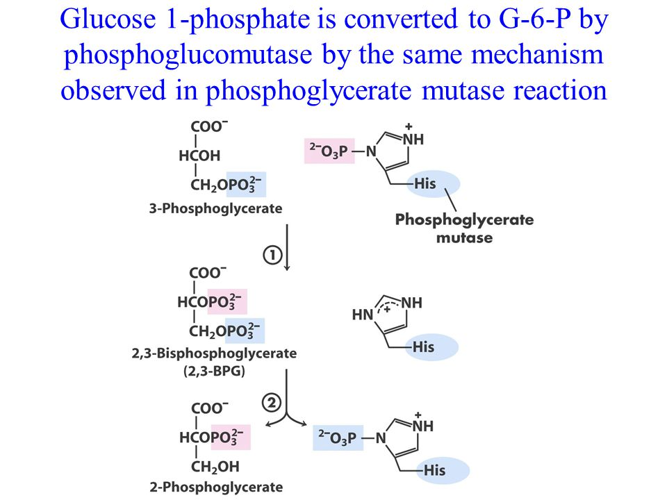 Glucose 1-phosphate is converted to G-6-P by phosphoglucomutase by the same mechanism observed in phosphoglycerate mutase reaction
