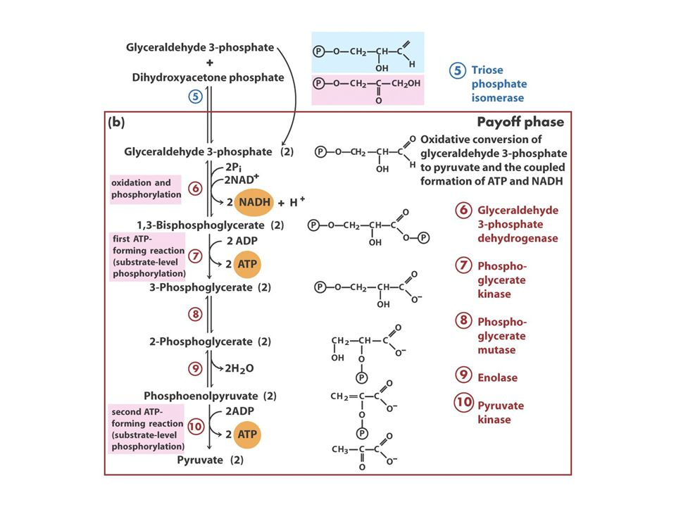 Digestion of dietary disaccharides Disaccharides must be hydrolyzed to monosaccharides before entering cells.