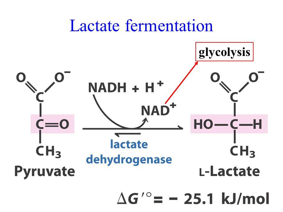 Lactate fermentation glycolysis