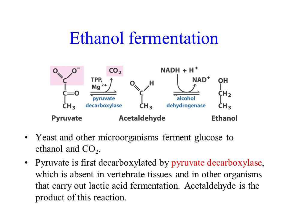 Ethanol fermentation Yeast and other microorganisms ferment glucose to ethanol and CO 2.
