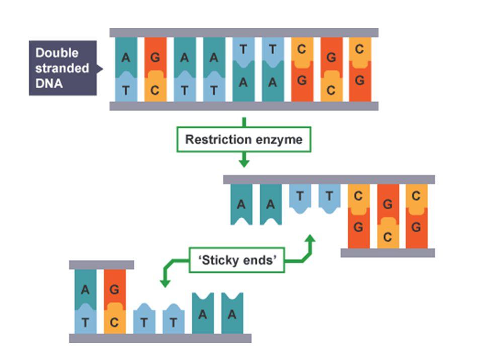DNA ligase 'Sticky ends'