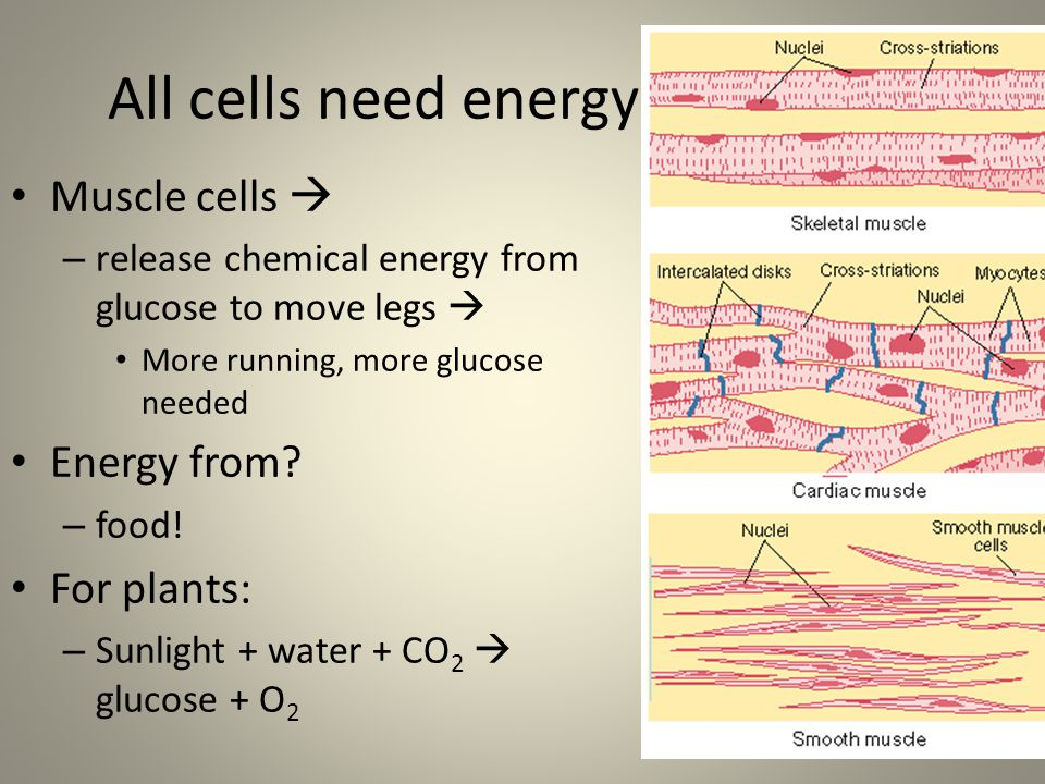 All cells need energy Muscle cells  – release chemical energy from glucose to move legs  More running, more glucose needed Energy from.