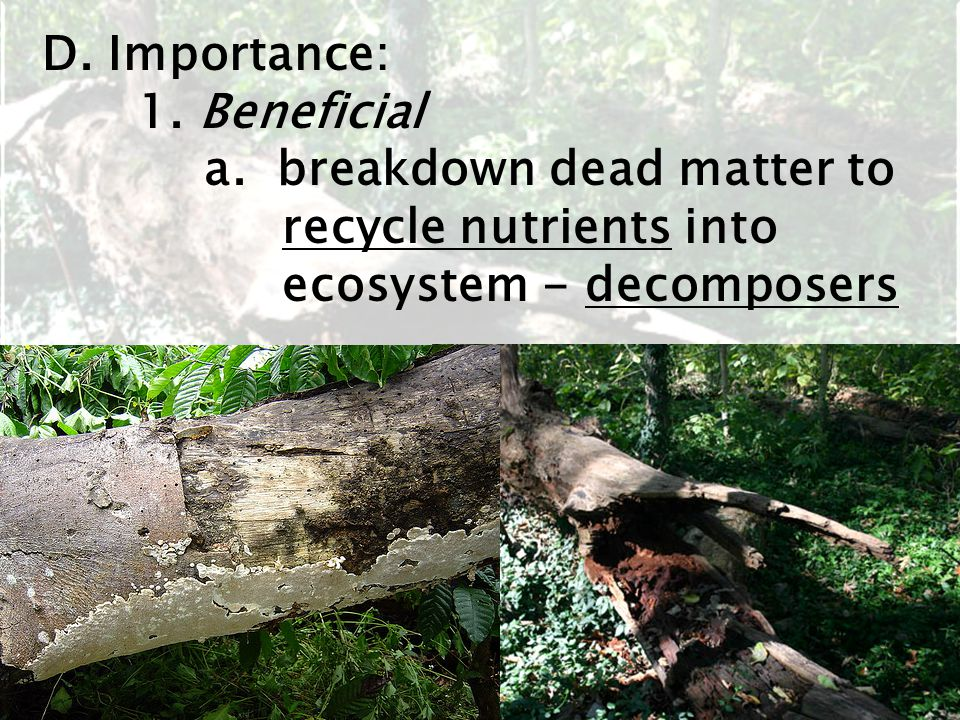 D. Importance: 1. Beneficial a. breakdown dead matter to recycle nutrients into ecosystem - decomposers
