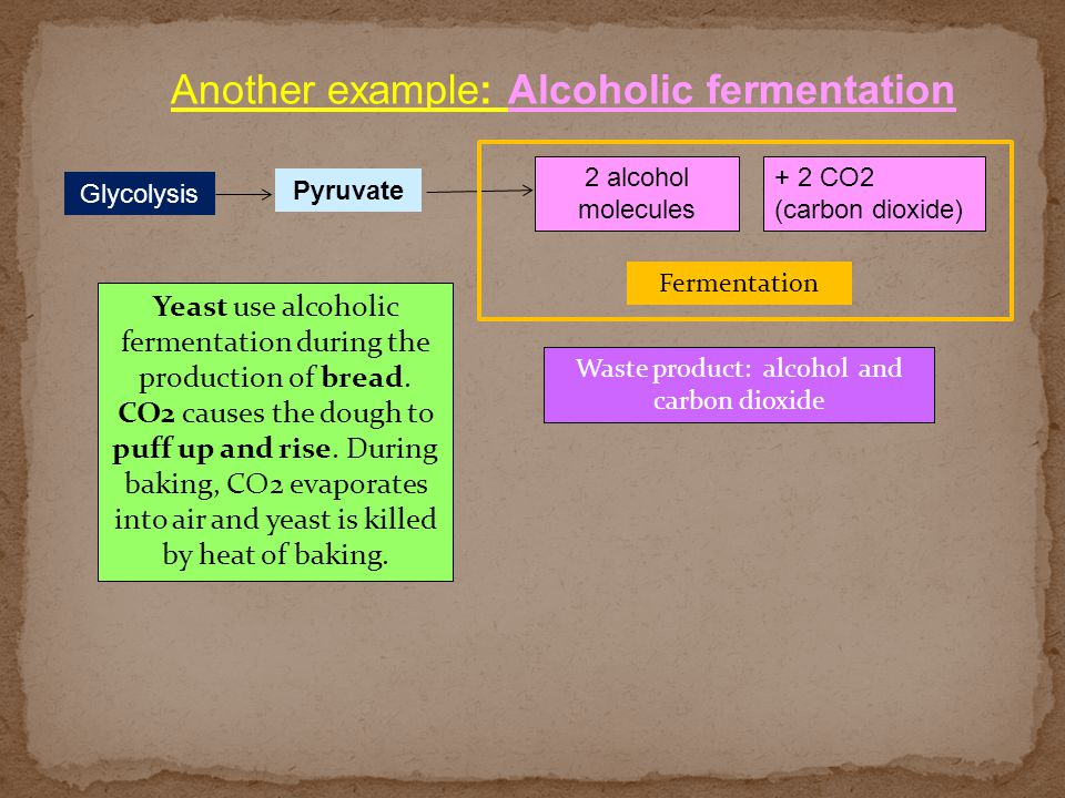 Another example: Alcoholic fermentation 2 alcohol molecules Glycolysis Fermentation Waste product: alcohol and carbon dioxide Pyruvate + 2 CO2 (carbon