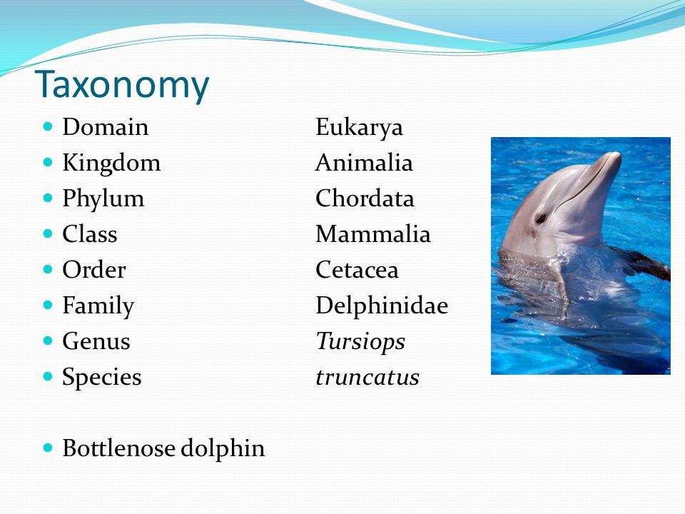 Taxonomy Domain Eukarya KingdomAnimalia PhylumChordata ClassMammalia OrderCetacea FamilyDelphinidae GenusTursiops Speciestruncatus Bottlenose dolphin