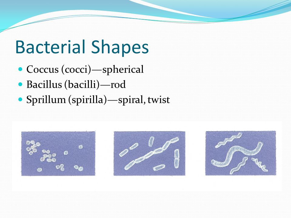 Bacterial Shapes Coccus (cocci)—spherical Bacillus (bacilli)—rod Sprillum (spirilla)—spiral, twist