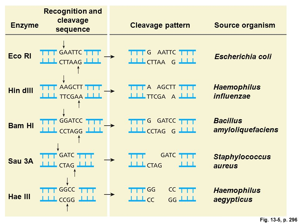 Fig. 13-5, p. 296 Recognition and cleavage sequence EnzymeCleavage patternSource organism Eco RI Escherichia coli Hin dIII Haemophilus influenzae Bam H