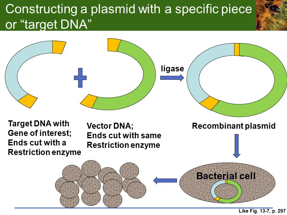 """Constructing a plasmid with a specific piece or """"target DNA"""" Target DNA with Gene of interest; Ends cut with a Restriction enzyme Vector DNA; Ends cut"""