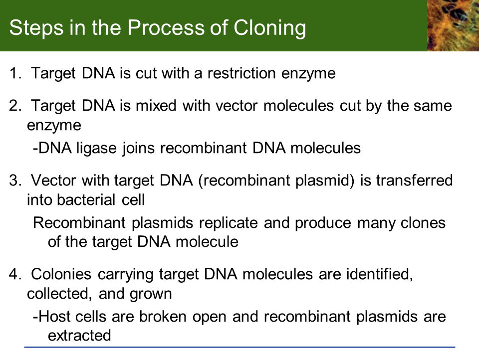 Steps in the Process of Cloning 1. Target DNA is cut with a restriction enzyme 2. Target DNA is mixed with vector molecules cut by the same enzyme -DN