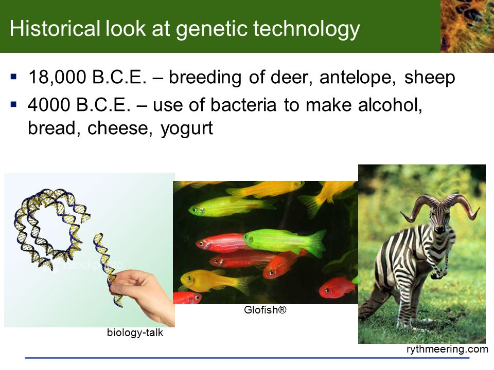 Historical look at genetic technology  18,000 B.C.E. – breeding of deer, antelope, sheep  4000 B.C.E. – use of bacteria to make alcohol, bread, chee