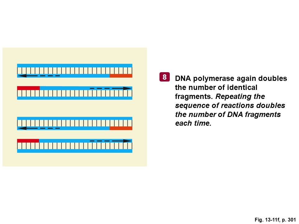 Fig. 13-11f, p. 301 DNA polymerase again doubles the number of identical fragments. Repeating the sequence of reactions doubles the number of DNA frag