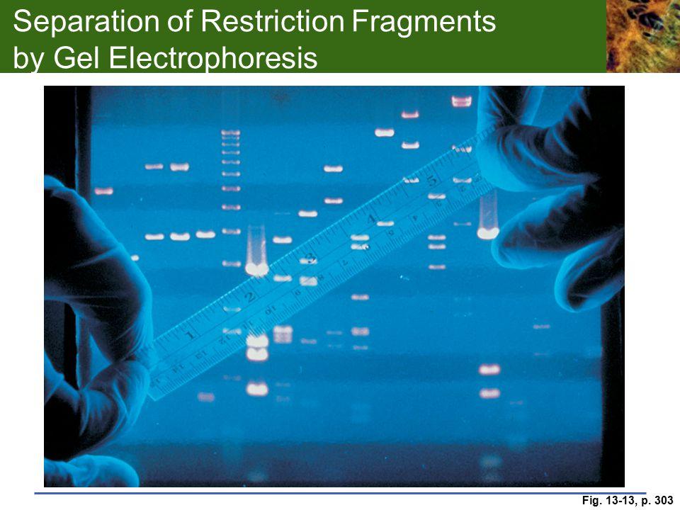 Separation of Restriction Fragments by Gel Electrophoresis Fig. 13-13, p. 303