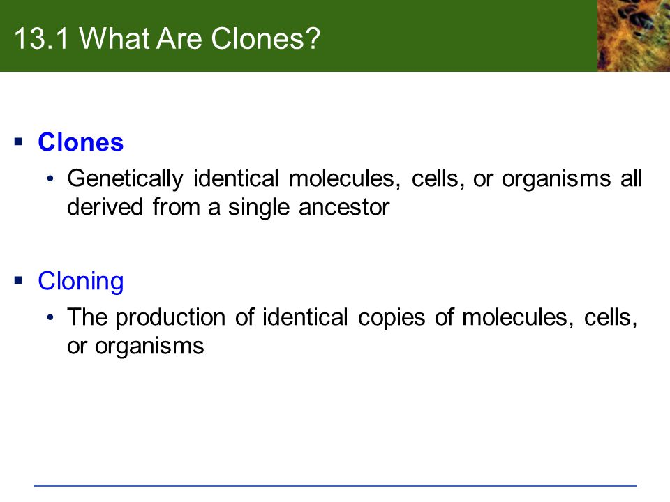 13.1 What Are Clones?  Clones Genetically identical molecules, cells, or organisms all derived from a single ancestor  Cloning The production of ide