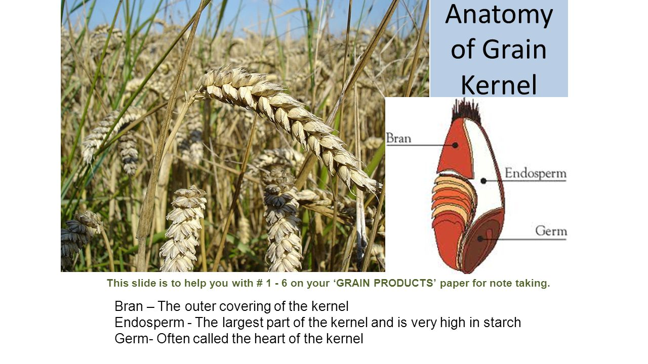 Anatomy of Grain Kernel Bran – The outer covering of the kernel Endosperm - The largest part of the kernel and is very high in starch Germ- Often called the heart of the kernel This slide is to help you with # 1 - 6 on your 'GRAIN PRODUCTS' paper for note taking.