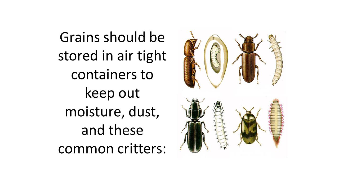 Grains should be stored in air tight containers to keep out moisture, dust, and these common critters: