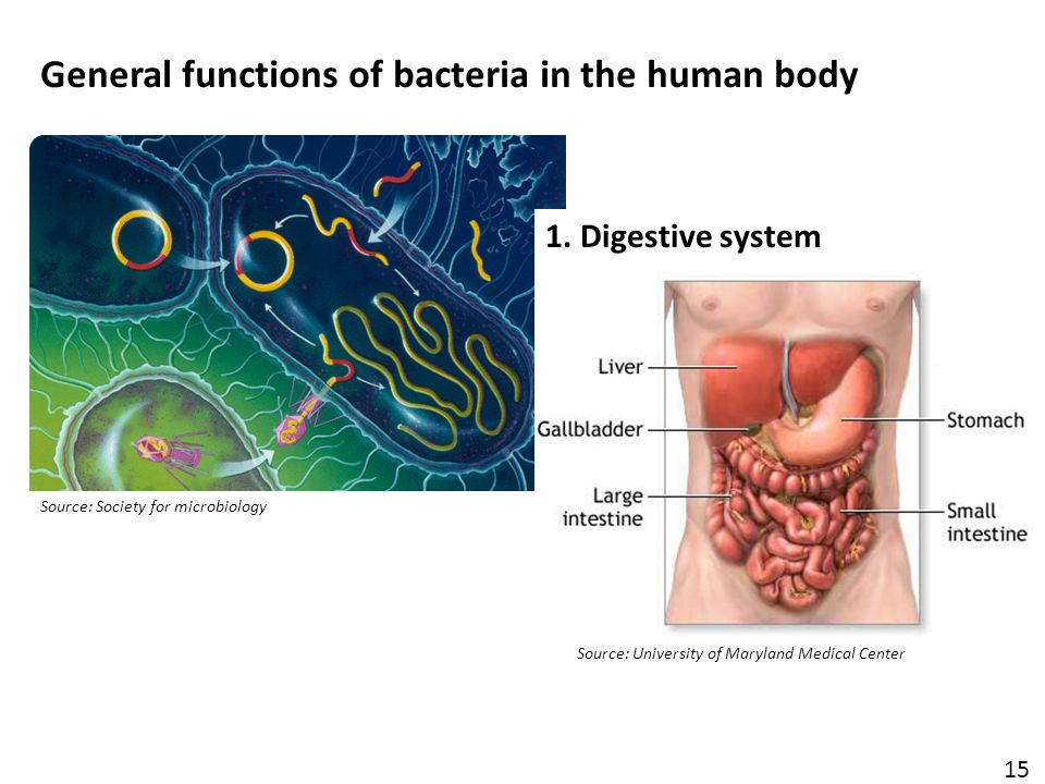 Source: Society for microbiology General functions of bacteria in the human body 15 1.