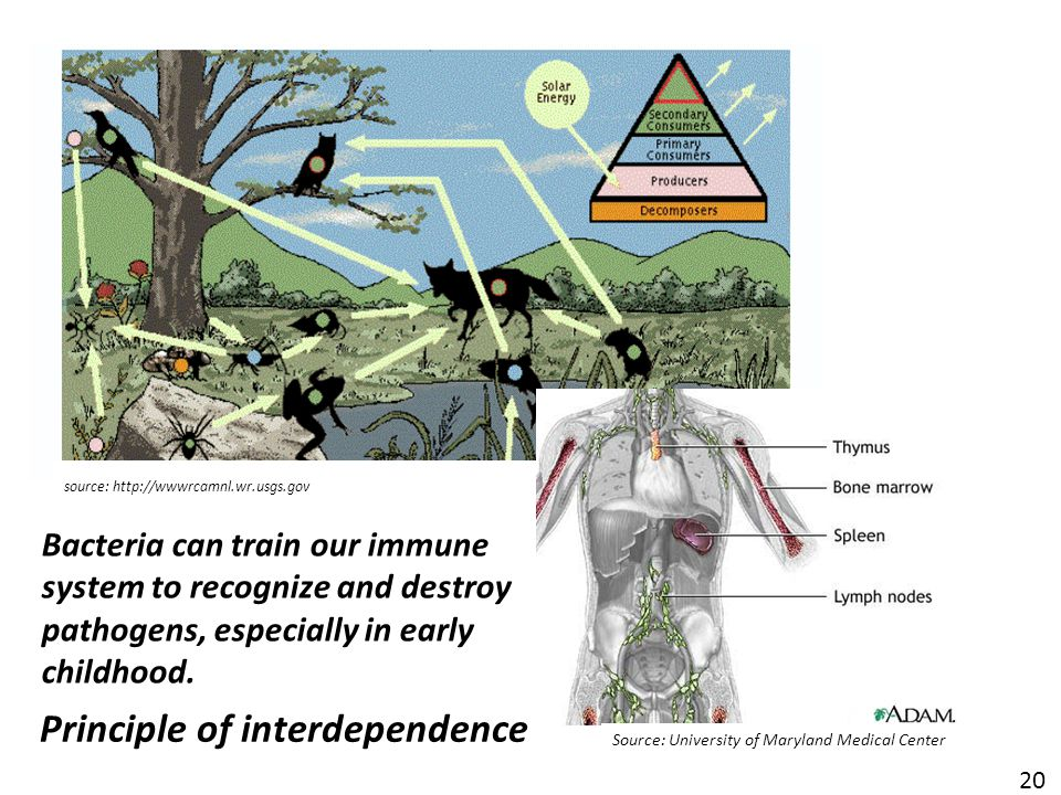 Principle of interdependence source: http://wwwrcamnl.wr.usgs.gov 20 Source: University of Maryland Medical Center Bacteria can train our immune system to recognize and destroy pathogens, especially in early childhood.