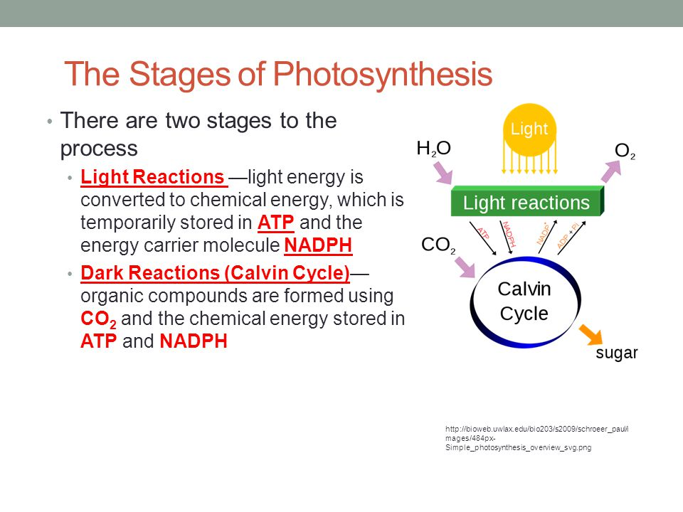The Stages of Photosynthesis There are two stages to the process Light Reactions —light energy is converted to chemical energy, which is temporarily stored in ATP and the energy carrier molecule NADPH Dark Reactions (Calvin Cycle)— organic compounds are formed using CO 2 and the chemical energy stored in ATP and NADPH http://bioweb.uwlax.edu/bio203/s2009/schroeer_paul/i mages/484px- Simple_photosynthesis_overview_svg.png