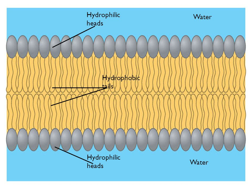Figure 5.11B Water Hydrophilic heads Hydrophobic tails Hydrophilic heads