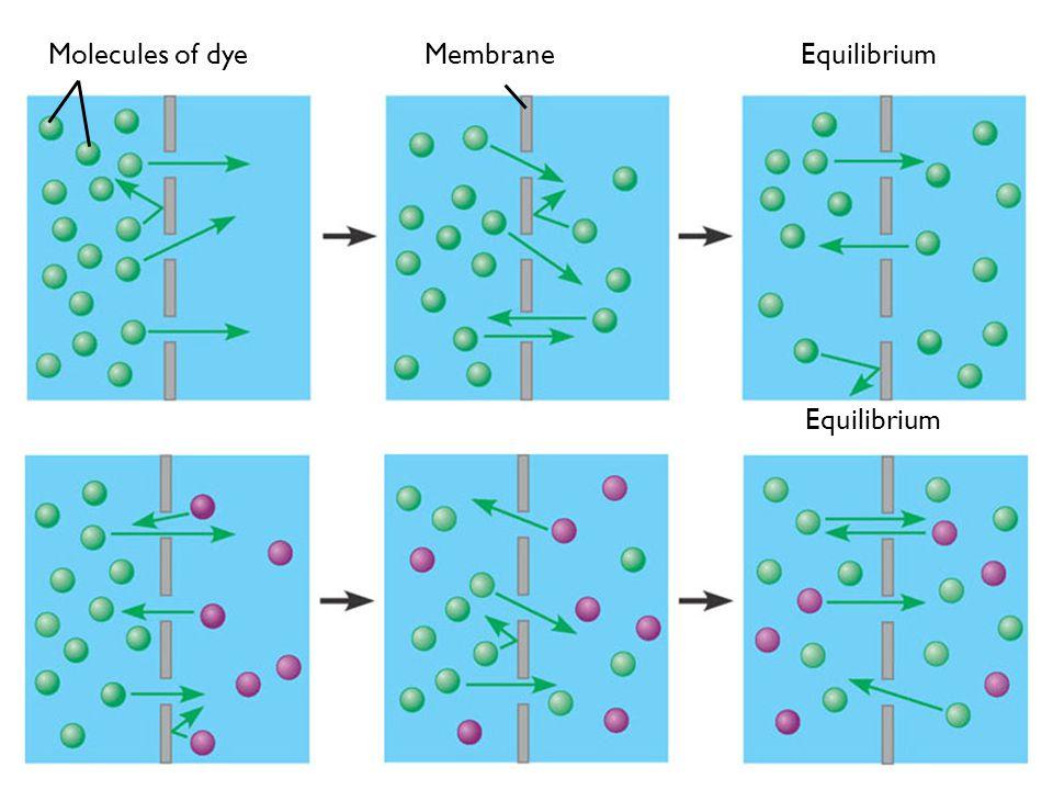EquilibriumMembraneMolecules of dye Equilibrium