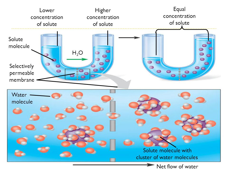 Lower concentration of solute Higher concentration of solute Equal concentration of solute H2OH2O Solute molecule Selectively permeable membrane Water