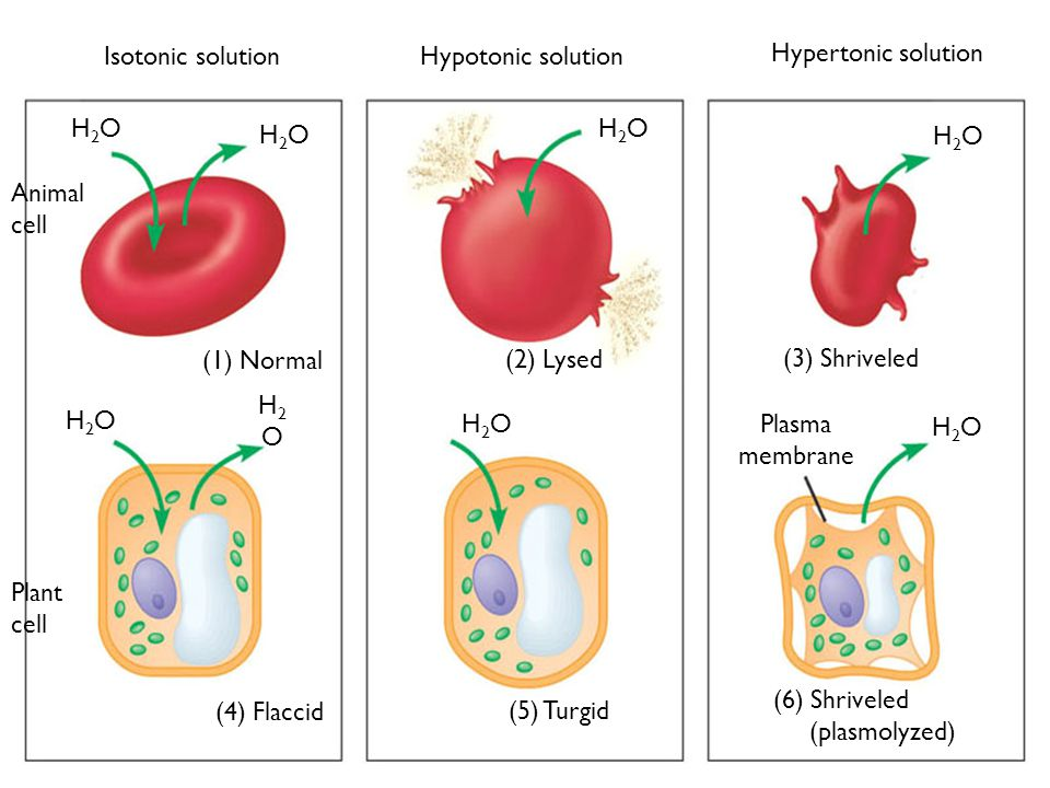 H2OH2O H2OH2O H2OH2O H2OH2O H2OH2O H2OH2O H2OH2O H2OH2O Plasma membrane (1) Normal (2) Lysed (3) Shriveled (4) Flaccid (5) Turgid (6) Shriveled (plasmolyzed) Isotonic solution Hypotonic solution Hypertonic solution Animal cell Plant cell