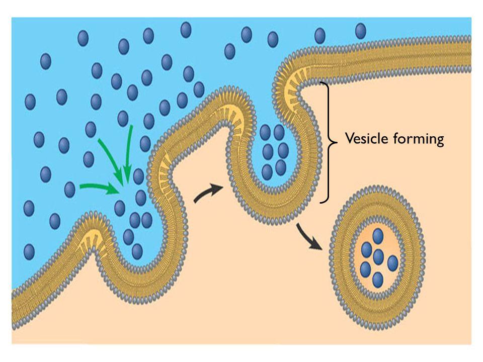 Figure 5.19B Vesicle forming