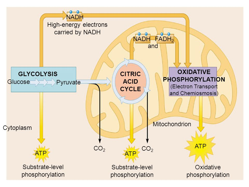 NADH FADH 2 GLYCOLYSIS Glucose Pyruvate CITRIC ACID CYCLE OXIDATIVE PHOSPHORYLATION (Electron Transport and Chemiosmosis) Substrate-level phosphorylat
