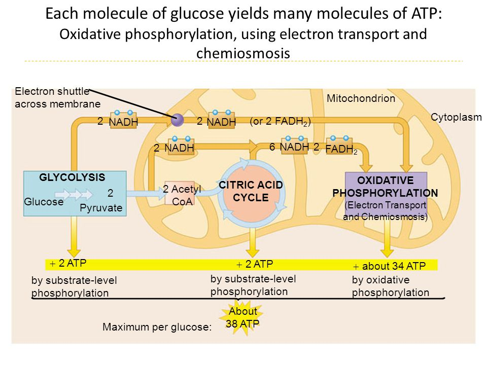 Each molecule of glucose yields many molecules of ATP: Oxidative phosphorylation, using electron transport and chemiosmosis NADH FADH 2 Cytoplasm Elec