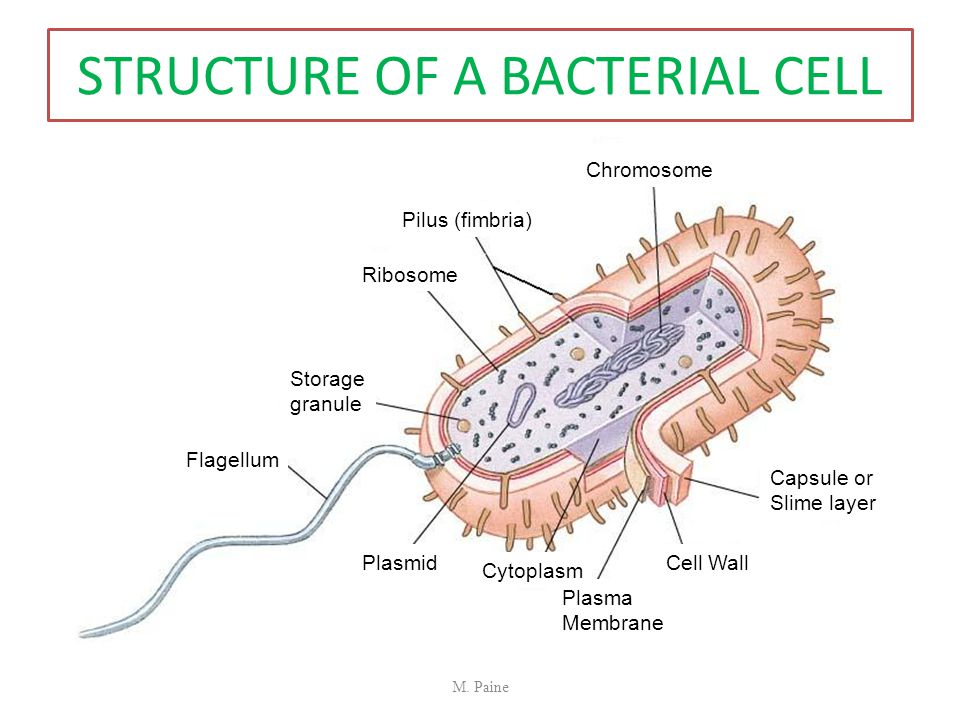 STRUCTURE OF A BACTERIAL CELL Chromosome Pilus (fimbria) Ribosome Storage granule Flagellum Capsule or Slime layer Cell Wall Plasma Membrane Cytoplasm