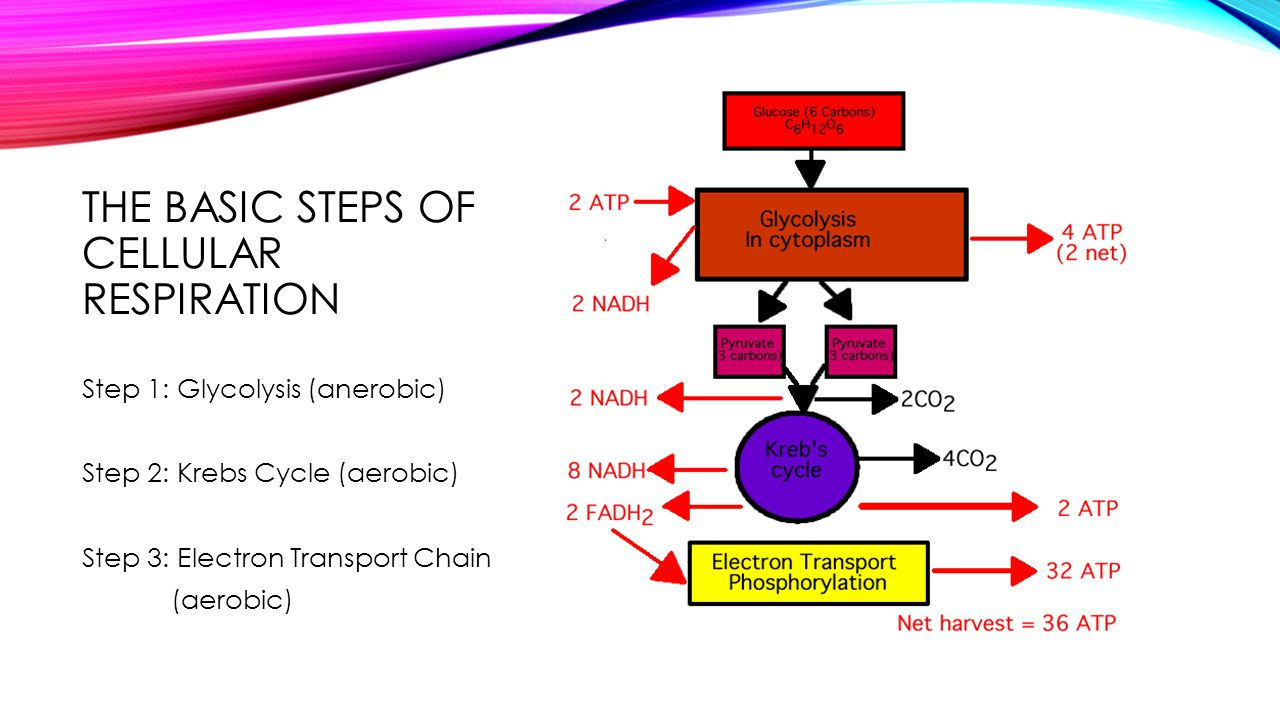 THE BASIC STEPS OF CELLULAR RESPIRATION Step 1: Glycolysis (anerobic) Step 2: Krebs Cycle (aerobic) Step 3: Electron Transport Chain (aerobic)