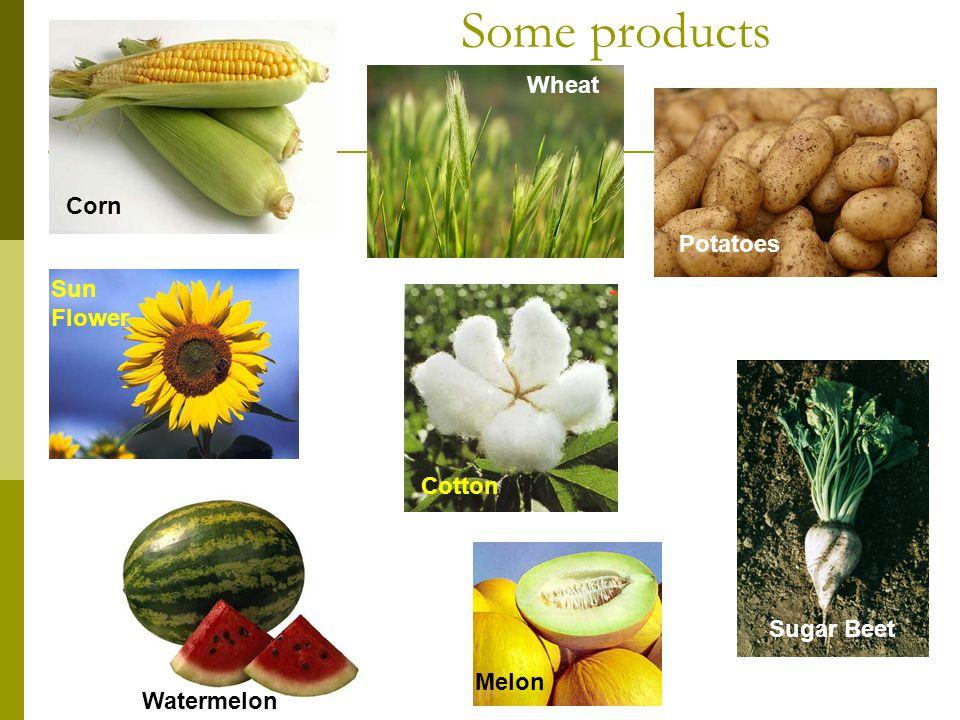 Some products Corn Wheat Potatoes Sun Flower Cotton Sugar Beet Melon Watermelon