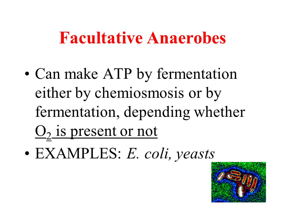 Facultative Anaerobes Can make ATP by fermentation either by chemiosmosis or by fermentation, depending whether O 2 is present or not EXAMPLES: E. col