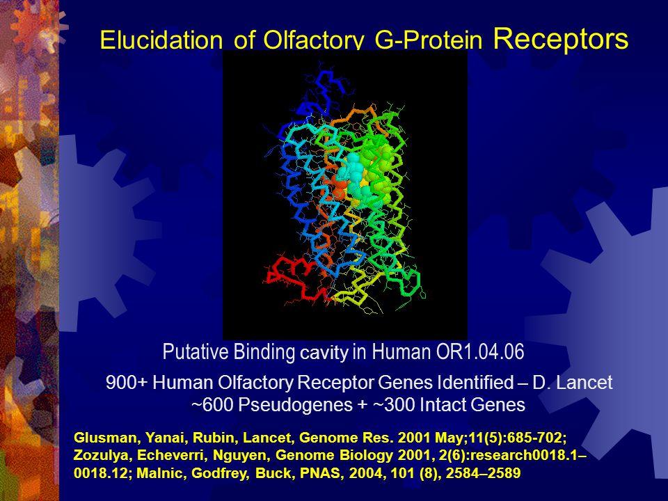 Elucidation of Olfactory G-Protein Receptors 900+ Human Olfactory Receptor Genes Identified – D. Lancet ~600 Pseudogenes + ~300 Intact Genes Putative
