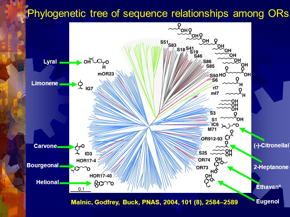 Phylogenetic tree of sequence relationships among ORs Malnic, Godfrey, Buck, PNAS, 2004, 101 (8), 2584–2589 Carvone Bourgeonal Helional Lyral (-)-Citr