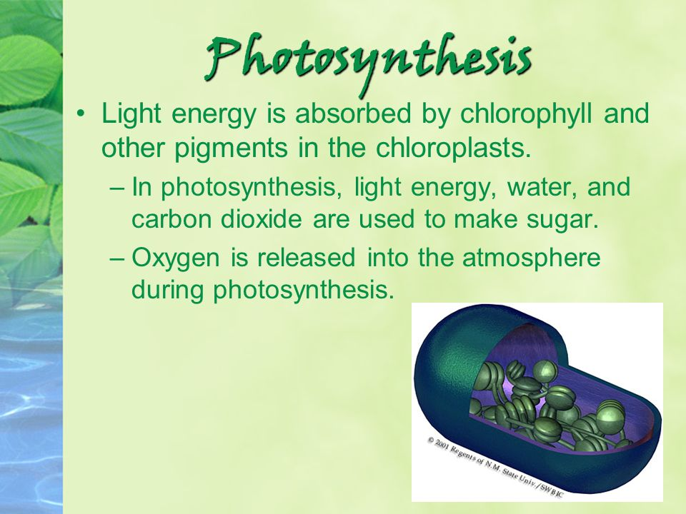 Photosynthesis Light energy is absorbed by chlorophyll and other pigments in the chloroplasts. –In photosynthesis, light energy, water, and carbon dio