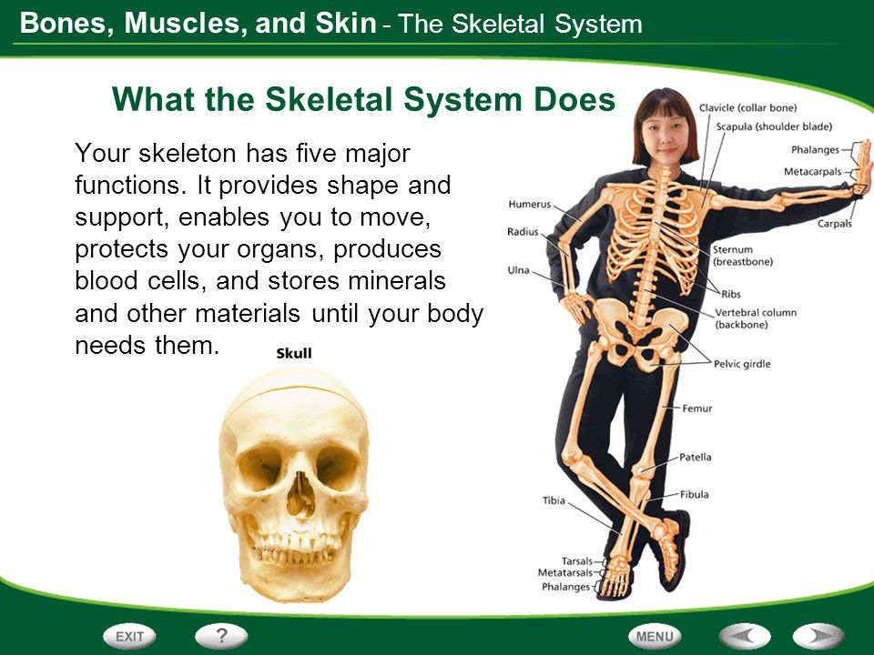The Skeletal System The skeleton is made up of all the bones in one's body.