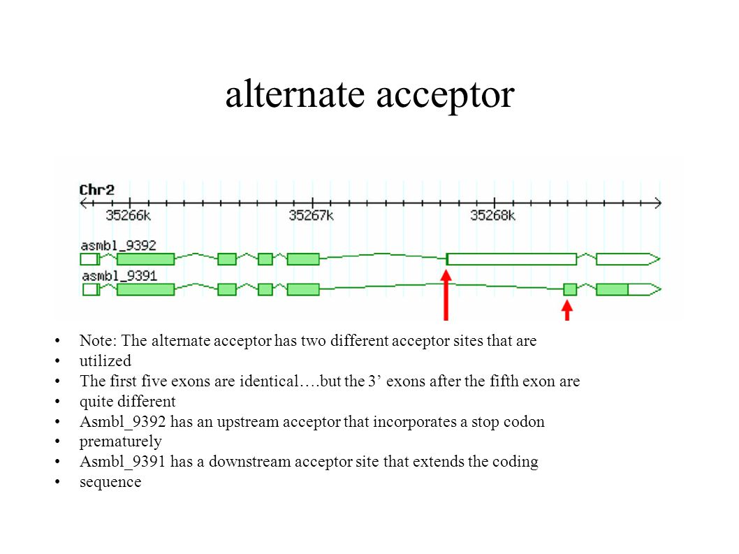 alternate acceptor Note: The alternate acceptor has two different acceptor sites that are utilized The first five exons are identical….but the 3' exons after the fifth exon are quite different Asmbl_9392 has an upstream acceptor that incorporates a stop codon prematurely Asmbl_9391 has a downstream acceptor site that extends the coding sequence