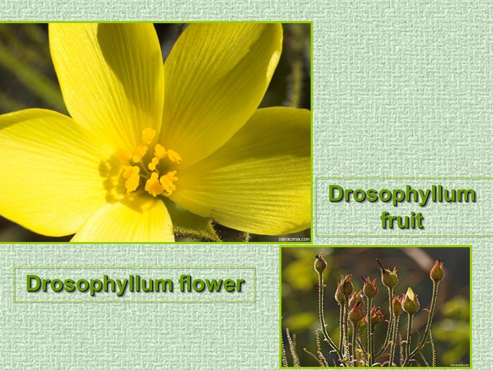 Drosophyllum flower Drosophyllum fruit