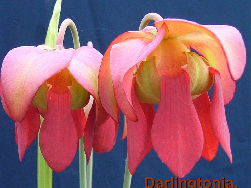 Darlingtonia,