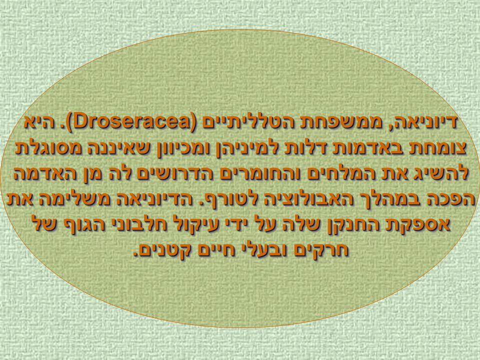 דיוניאה, ממשפחת הטלליתיים (Droseracea). היא צומחת באדמות דלות למיניהן ומכיוון שאיננה מסוגלת להשיג את המלחים והחומרים הדרושים לה מן האדמה הפכה במהלך הא