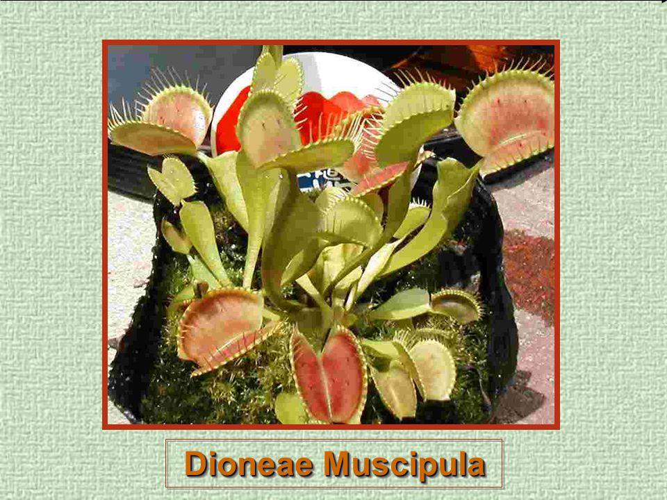 Dioneae Muscipula