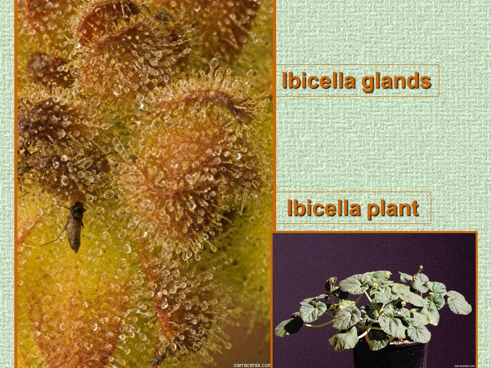 Ibicella glands Ibicella plant