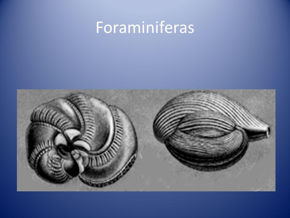 Foraminiferas